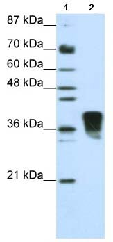 Western blot - TRA2B antibody (ab66901)