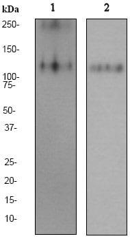 Western blot - CD162 antibody [EPR1967Y] (ab68143)