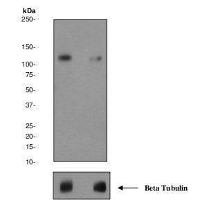Western blot - NMDAR1 (phospho S889) antibody [EPR2480Y] (ab68144)
