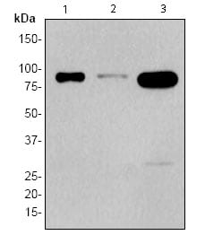Western blot - STAT4 antibody [EP1900Y] (ab68156)