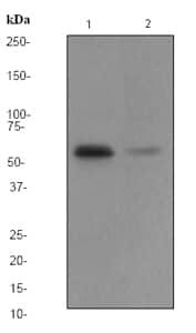 Western blot - CAMKIV antibody [EP2565AY] (ab68218)