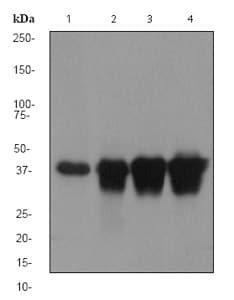 Western blot - CaMKI antibody [EPR2217Y] (ab68234)