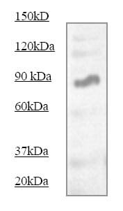 Western blot - STAT5 antibody (ab68465)