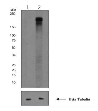 Western blot - ErbB 4 (phospho Y1188) antibody [EPR2271Y] (ab68479)