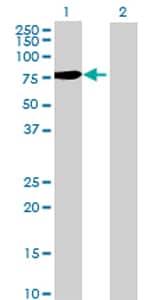 Western blot - R3HDM2 antibody (ab68567)
