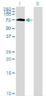 Western blot - RSL1D1 antibody (ab68966)