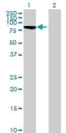 Western blot - C20orf19 antibody (ab69073)
