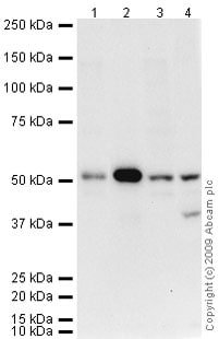 Western blot - Anti-Thymidine Phosphorylase antibody (ab69120)