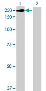Western blot - ZNFX1 antibody (ab69172)