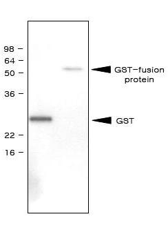 Western blot - GST antibody [1E5] (ab69186)