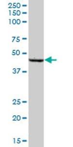 Western blot - SCLY antibody (ab69343)