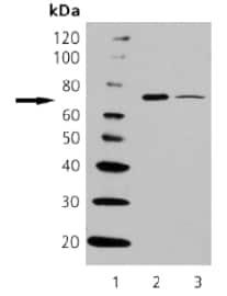 Western blot - HSPA6 antibody [165f] (ab69551)