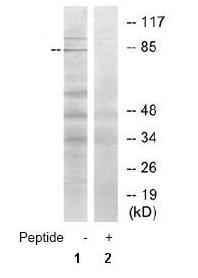 Western blot - STON1  antibody (ab69590)