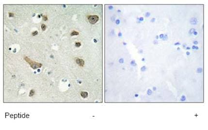 Immunohistochemistry (Formalin/PFA-fixed paraffin-embedded sections) - 14-3-3 gamma antibody (ab69592)