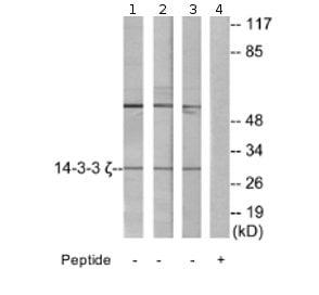 Western blot - 14-3-3 zeta antibody (ab69593)