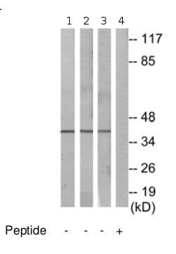 Western blot - Bub3 antibody (ab69600)