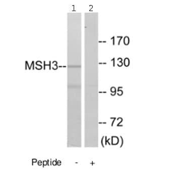 Western blot - MSH3 antibody (ab69619)