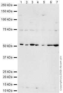 Western blot - PIGA antibody (ab69768)
