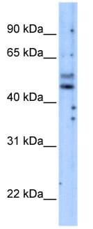 Western blot - PI 3 Kinase p85 gamma antibody (ab69870)