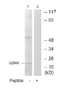 Western blot - Anti-Granzyme H antibody (ab69876)