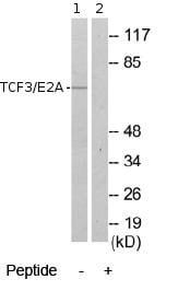 Western blot - TCF3 / E2A antibody (ab69999)