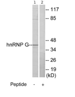 Western blot - hnRNP G antibody (ab70064)
