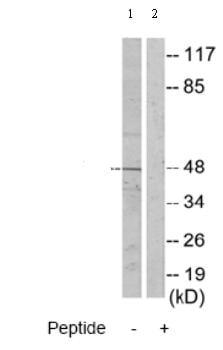Western blot - ADPGK antibody (ab70130)