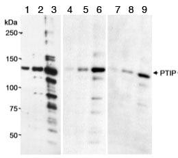 Western blot - PTIP antibody (ab70434)