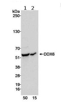 Western blot - DDX6 antibody (ab70455)