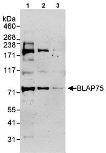 Western blot - BLAP75 antibody (ab70525)