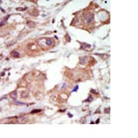 Immunohistochemistry (Formalin/PFA-fixed paraffin-embedded sections) - MLK2 antibody - Carboxyterminal end (ab70859)