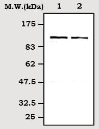Western blot - Rb2 p130 antibody (ab71143)