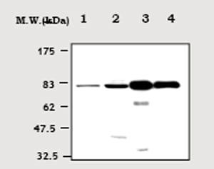 Western blot - PKC gamma antibody (ab71558)