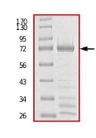 SDS-PAGE - PPM1F protein (Tagged) (ab71665)