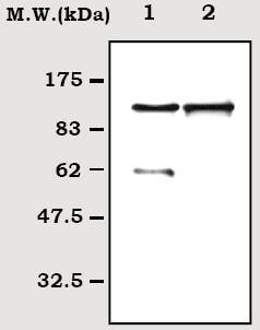 Western blot - C6 antibody [8G7] (ab71941)