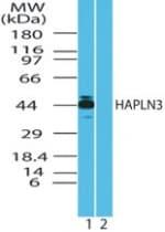 Western blot - HAPLN3 antibody (ab71989)