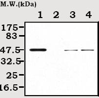 Western blot - Creatine Kinase MM antibody [2C5] (ab72004)