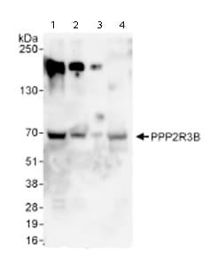 Western blot - PPP2R3B antibody (ab72027)