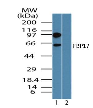 Western blot - FBP17 antibody (ab72048)