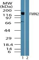 Western blot - FMN2 antibody (ab72052)