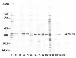 Western blot - Cowdria Ruminantium antibody [4F10B4] (ab72104)