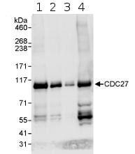 Western blot - Cdc27 antibody (ab72217)