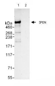 Immunoprecipitation - SPEN antibody (ab72266)
