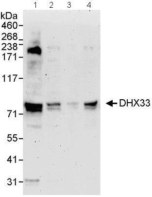 Western blot - DHX33 antibody (ab72451)