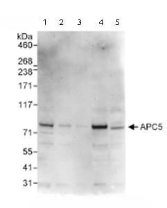 Western blot - Apc5 antibody (ab72516)