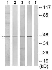Western blot - DUSP4 antibody (ab72593)