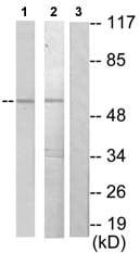 Western blot - Nuclear Factor 1 antibody (ab72602)