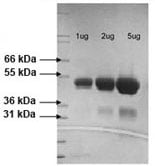 SDS-PAGE - CD252 protein (Active) (ab73006)
