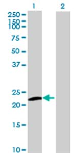 Western blot - UBL4B antibody (ab73051)