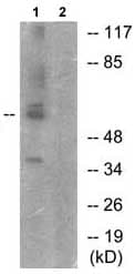 Western blot - KAT5 / Tip60 (phospho S86) antibody (ab73207)